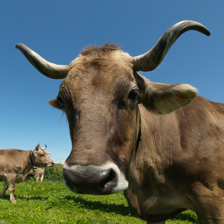 Cows in field Banque d'images - 114014134