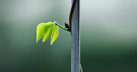 A runner bean leaf on a stem