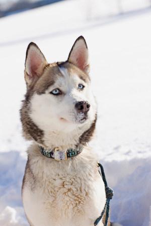 Siberian husky 免版税图像