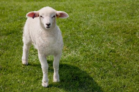 Lamb walking in grass