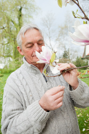 Older man smelling magnolia on tree Stock Photo