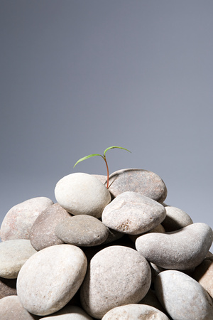 Sapling growing from rocks