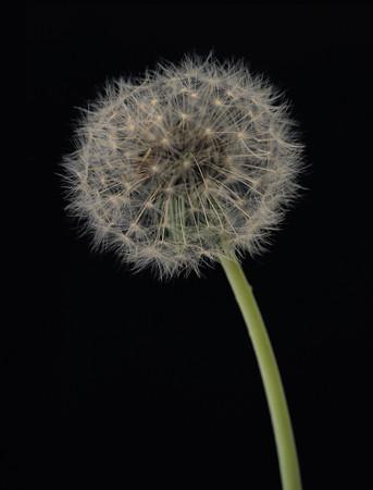 Dandelion flower background.