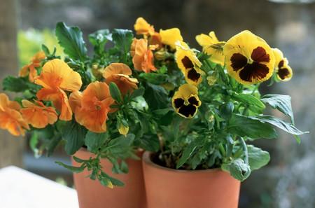 Pansies flowers background.