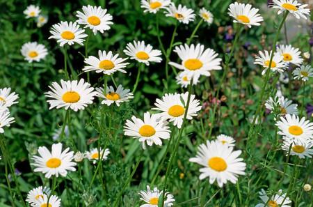Marguerites flower background.