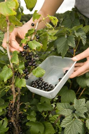 Woman picking blackcurrants