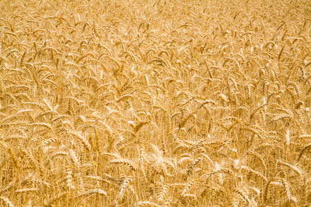 Wheat field background.