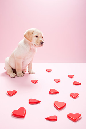 Labrador puppy and heart shapes Stock Photo