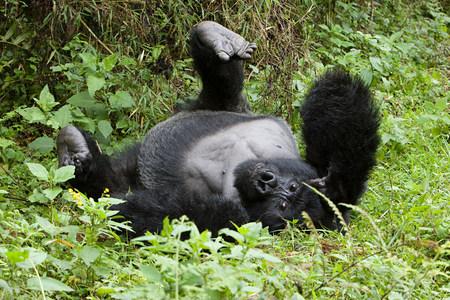 Mountain gorilla lying on back Archivio Fotografico