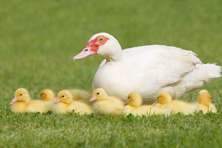 Entenkükenfamilie mit Entenmutter auf Gras Standard-Bild