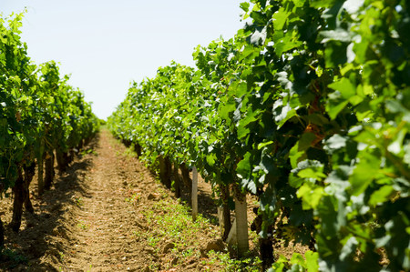 Vines, Saint Emilion, Aquitaine, France Фото со стока