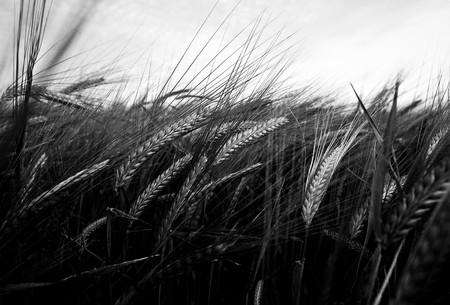 Close up of barley field Stok Fotoğraf
