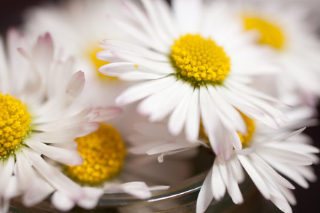 Daisies flower, close up