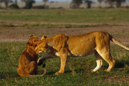 Lioness playing with cub Archivio Fotografico