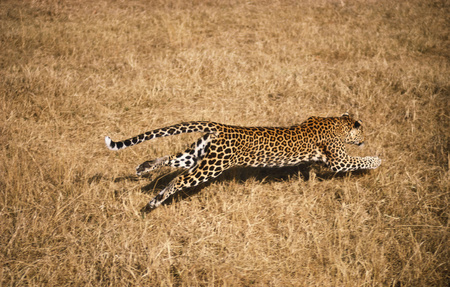 African leopard running Stock Photo
