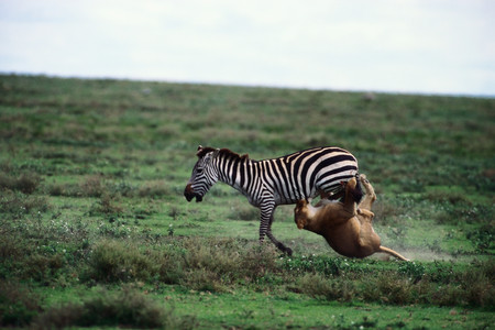Lion attacking zebra