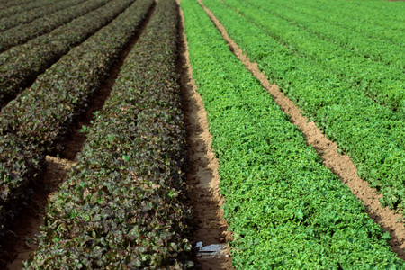 Field of romaine lettuces