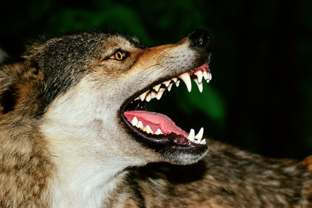 Snarling wolf background. Stock Photo