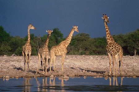 Giraffe at water