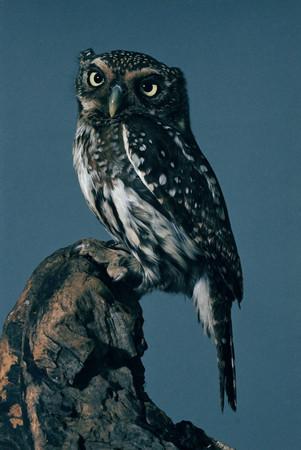 African scops owl Stockfoto