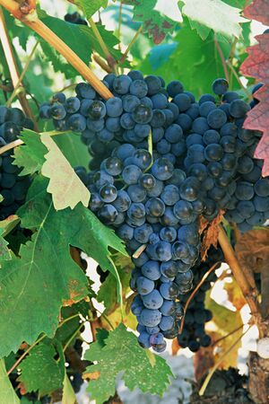 Grapes in a vineyard La Rioja Stock fotó