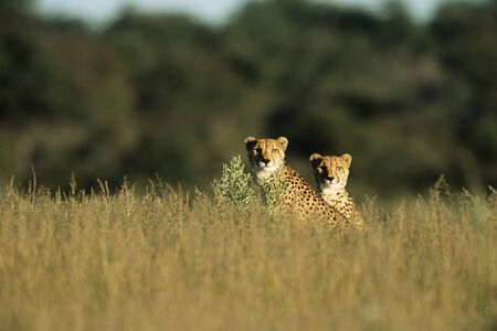 Two cheetahs in the bushes Stock fotó