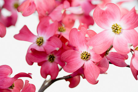 Dogwood blossom Stock Photo