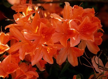 Pomarańczowe kwiaty azalii Zdjęcie Seryjne