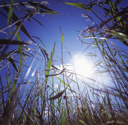 Long grass in a field in Sweden