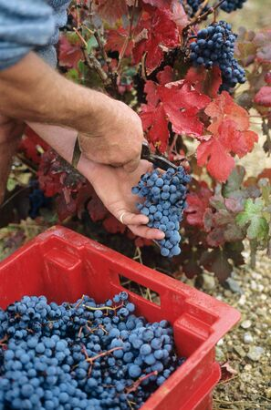 A man cutting grapes off the vine