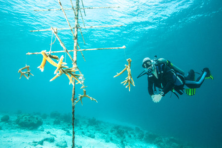 Diver Examining Tree In Coral Nursery