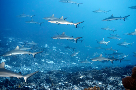 White Tip Reef Shark Swimming In Ocean Stockfoto