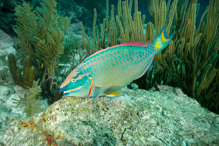 Parrotfish Swimming At Underwater Reef