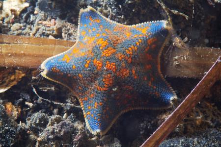 Asterina Pectinifera Sea Star, Sea Of Japan