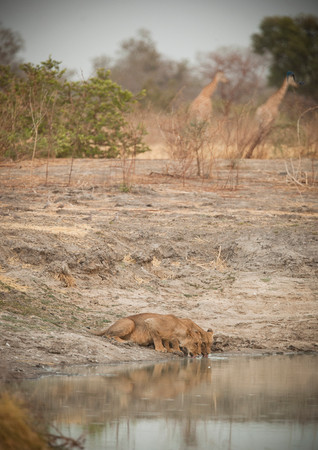 Lions Drink From A Small Lake While Giraffe Roam In Waza National Park, In The North Of Cameroon