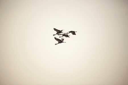 Black Crowned-Cranes Fly Over Waza National Park In The North Of Cameroon Imagens