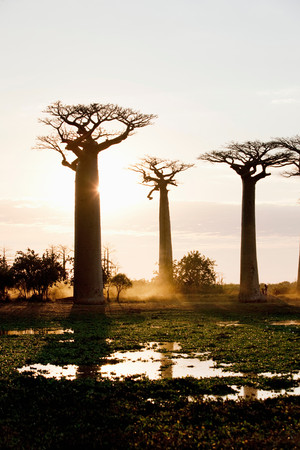 Avenue Of The Baobabs At Sunset, Near Morondava, Madagascar Фото со стока