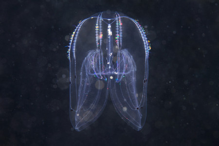 Bolinopsis Comb Jelly, Sea Of Japan Banque d'images