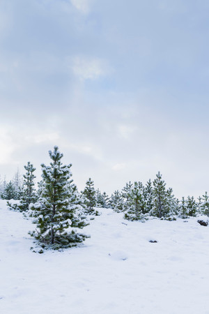 Fir Trees In Snow 스톡 콘텐츠
