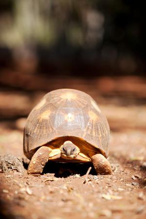 A Radiated Tortoise, Berenty Reserve, Madagascar Imagens