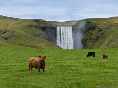 Cows Grazing In Front Of Waterfall