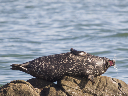 Harbor Seal, Phoca Vitulina, Marin County, California, Usa