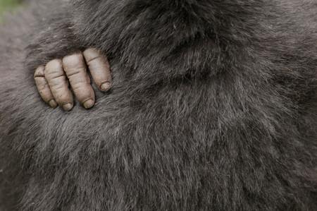 Silverback Gorilla In The Virunga Mountains, Parc National Des Volcans, Rwanda Archivio Fotografico
