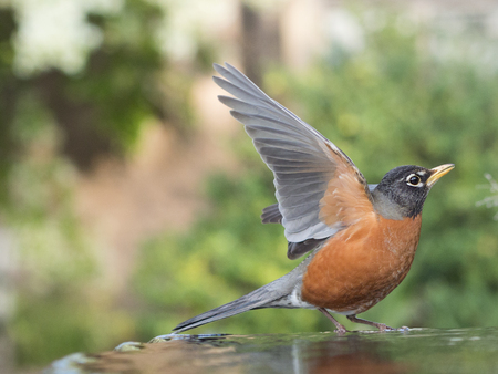 American Robin  (Turdus Migratorius) On Bird Bath, San Francisco, California, Usa