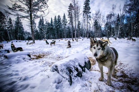 Portrait Of Wolf In Forest Clearing, Sacacomie, Quebec, Canada