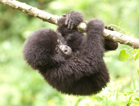 Joven gorila de montaña colgando de una rama en las colinas de las montañas Virunga, Parc National Des Volcans, Rwanda