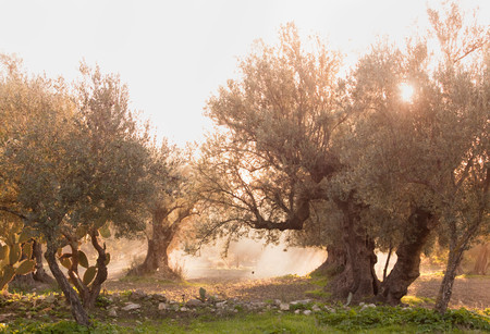 Olive Trees In Morning Sunlight, Sousse, Tunisia