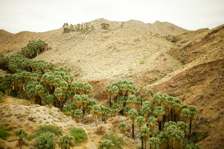 Palm Trees In Canyon, Palm Springs, California, Usa