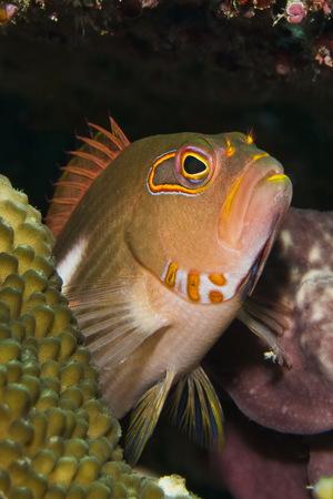 Cardinalfish Underwater, Close Up