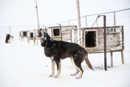 Husky Dog Howling In Enclosure, Svalbard, Norway